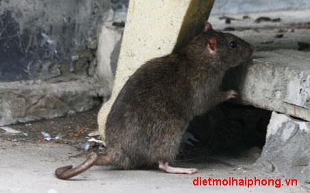 Diệt chuột hiệu quả bằng cách nào?