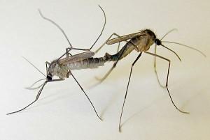 Chuyện xung quanh con muỗi
